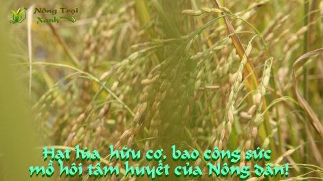 Gạo hữu cơ nông trại xanh v